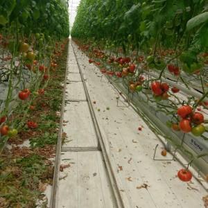 pomidory na hali